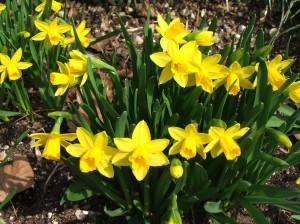 \'Tête à Tête\' Daffodils