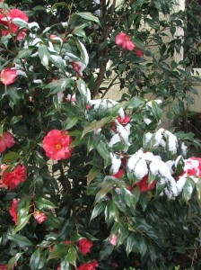 Camellias in the April snow, 2007