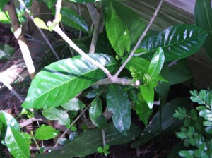 Look at those new, giant leaves on this gardenia!  Coffee!