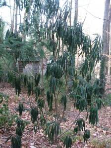 Daphniphyllum macropodom