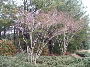 Now this is how Crapemyrtles should be pruned
