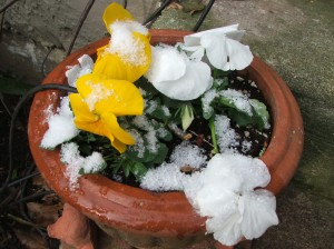 Pansies in the snow--they can take it.