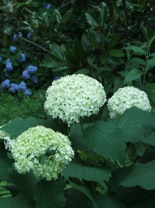 A view from the back patio.  That's Annabelle Hydrangea in the foreground and Nikko Blue Hydrangea in the background.