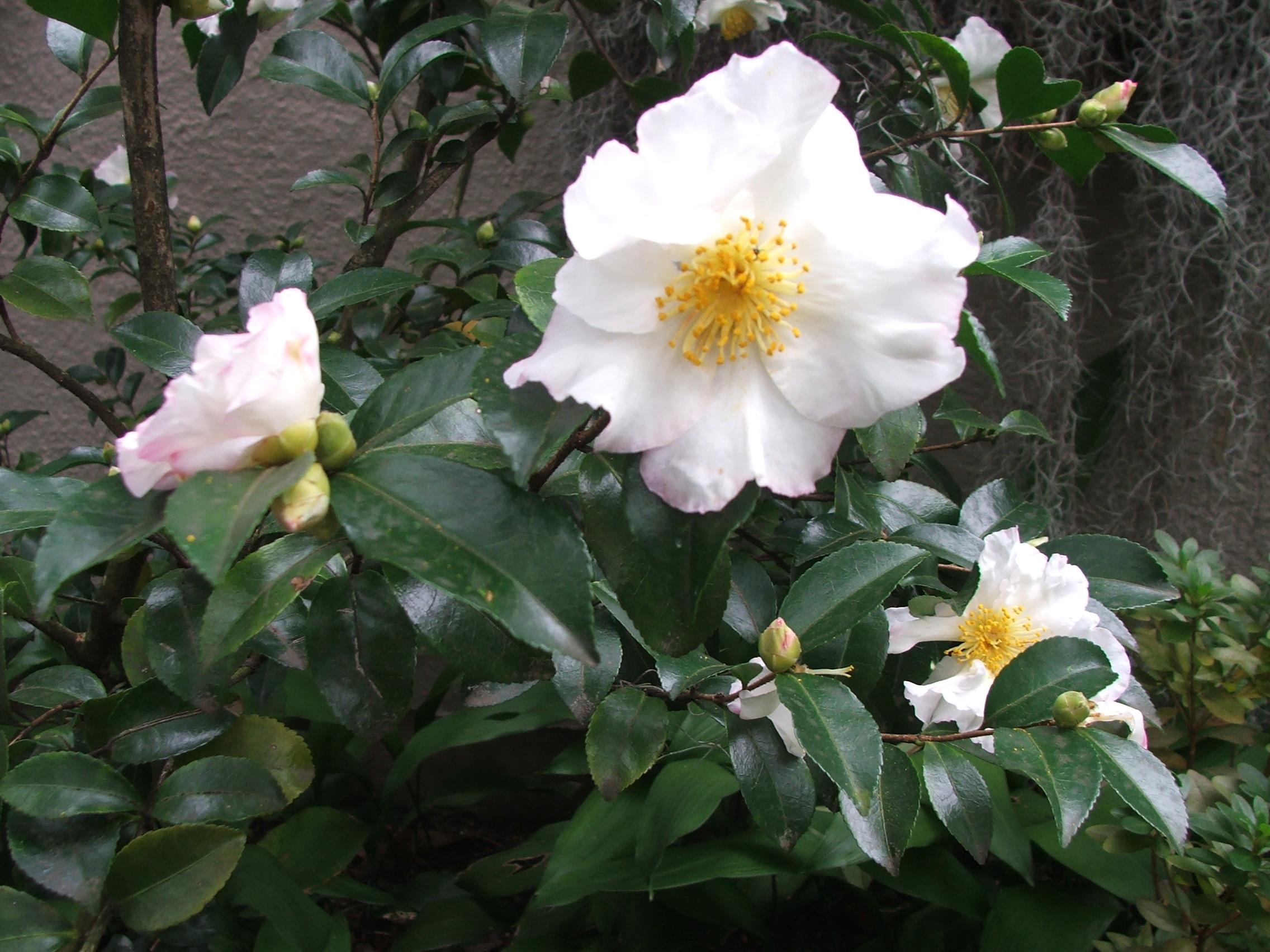 Camellia japonica for Camellia sasanqua