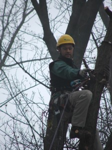 Arborist in the top of the Chestnut Oak