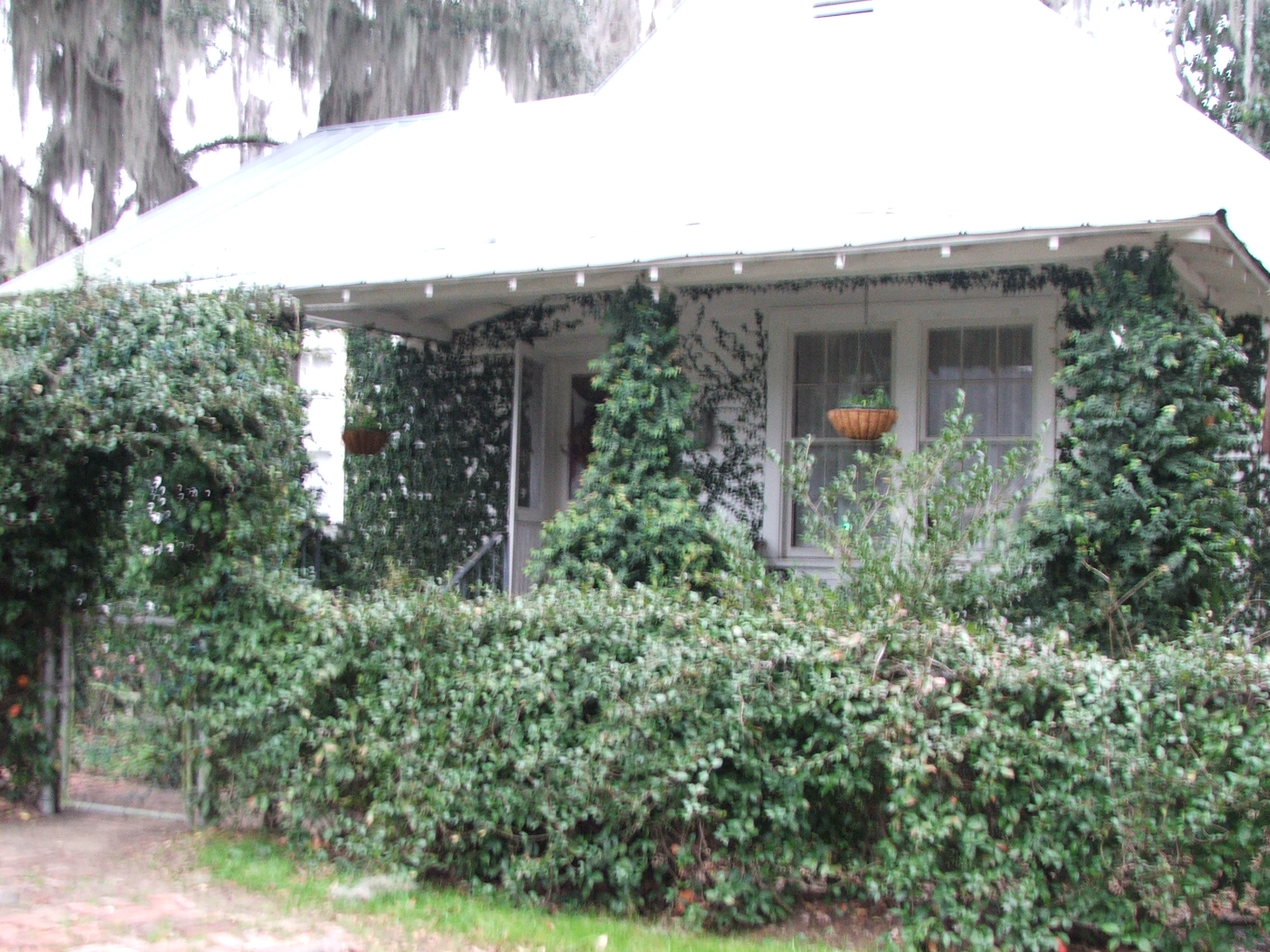 A Darien cottage, wrapped in Confederate Jasmine (Trachelospermum jasminoides).  Sorry this is a little blurry!