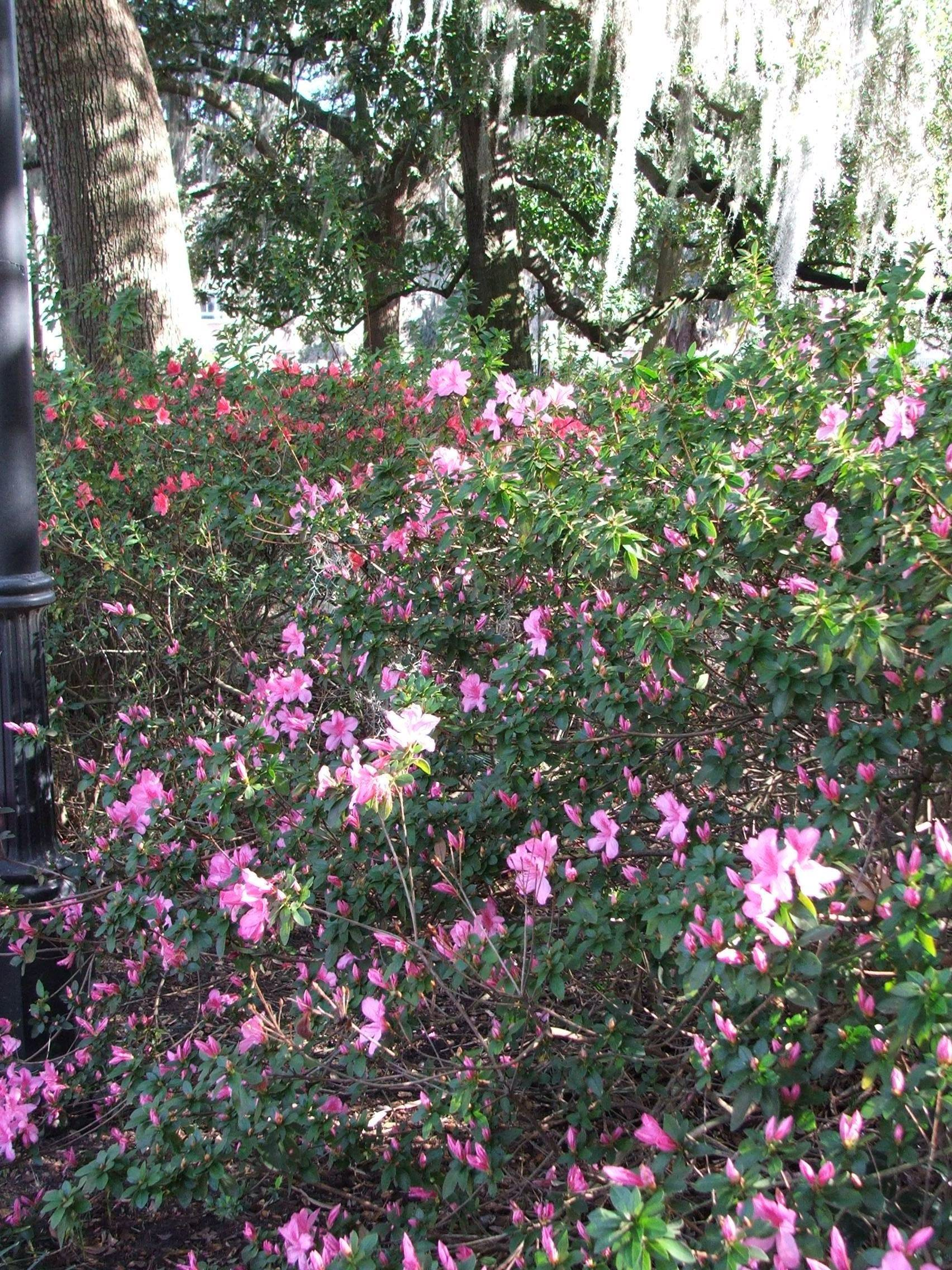 Early Azaleas coming into bloom