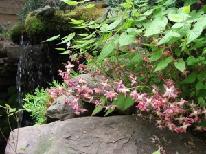 Epimedium rubrum next to the waterfall