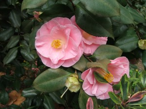 Camellia japonica, unknown variety