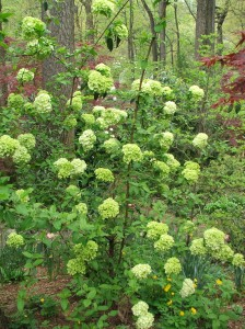 Chinese Snowball, Viburnum macrocephalum, just coming into bloom.