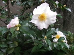 Camellia sasanqua 'Setsugekka' at Woodland Cottage
