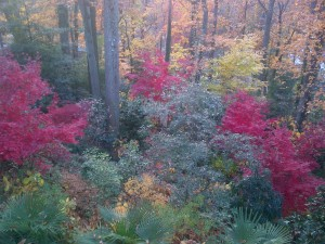 Beautiful 'Bloodgood' Japanese Maples in the back garden at Woodland Cottage