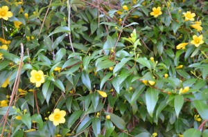 Carolina Jessamine around our front porch
