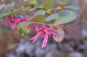 Loropetalum beginning to bloom in our front yard