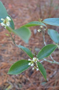 Carrying over from Winter, Tea Olives powerfully fill the garden with a deep, sweet fragrance