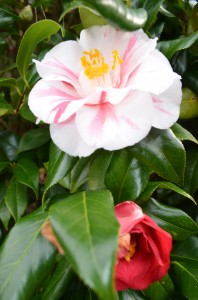 Camellias...
