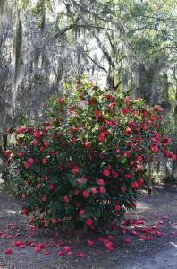 Camellia japonica, Savannah, GA, February, 2014