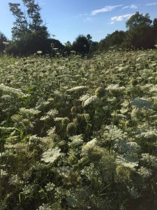 A field of Queen Anne's Lace at Blandy Farm, The State Arboretum of Virginia, August 2015. Photo by Catherine Giovannoni.